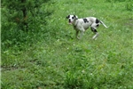 Picture of akc great dane adult sell out
