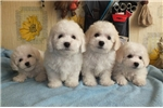 Adorable Non-Shedding Bichon Frise Male | Puppy at 11 weeks of age for sale