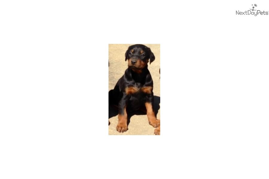 Doberman Dogs For Sale Near Me