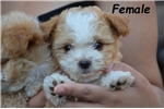 Picture of Maltese/poodle mix Puppies