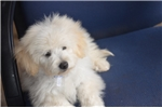 Picture of Male Maltipoo Puppy