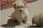 Picture of Pomapoo Puppies