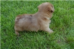 Picture of Female Pomapoo