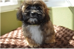 Picture of Shorkie Puppies!!!