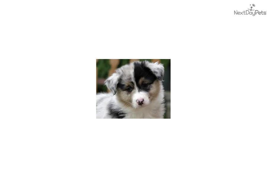 Terrier Dogs For Sale in Georgia Australian Terrier Puppy For Sale Near Atlanta Georgia A85f34d8 F321