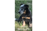 Picture of Handsome Male Blue Heeler Puppy!
