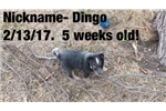 Dingo: CKC REGISTERED BLUE HEELER PUPPY FOR SALE | Puppy at 6 weeks of age for sale