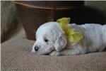 Picture of Peeta-Beautiful F1b Labradoodle