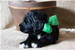Picture of Finnick-Beautiful F1b Labradoodle