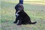 Picture of Gorgeous F1b Labradoodle Arwen
