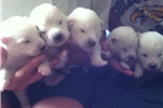 Picture of Puhrs' Polar Samoyeds