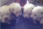 Picture of Puhrs' Polar Samoyeds (Females)