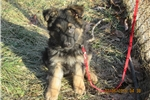 Picture of A.C.A. Registered Blk/tan male