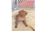 Picture of Girl Vizsla