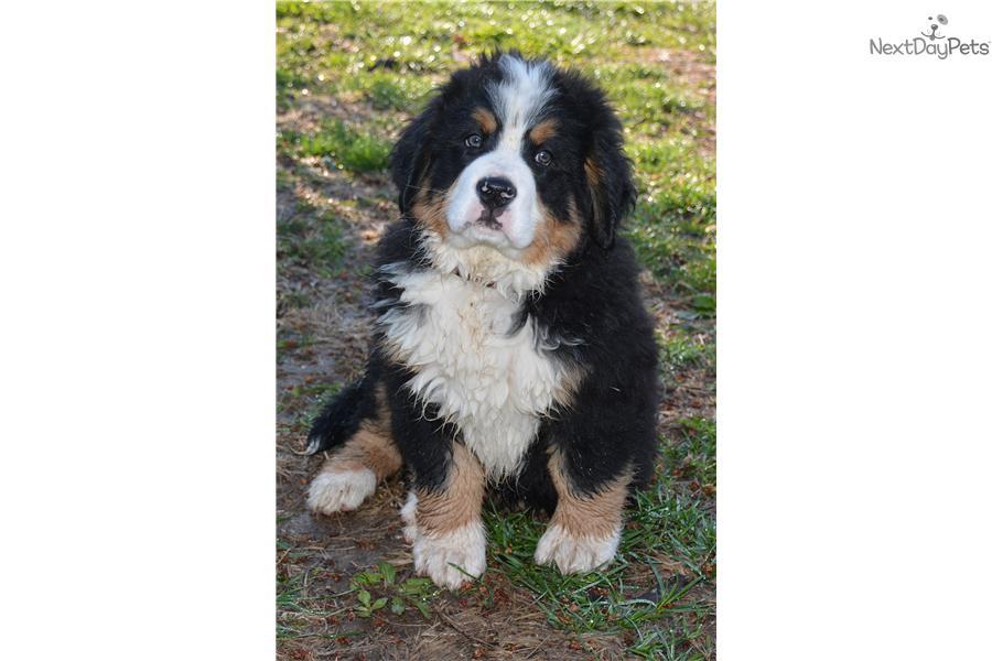 Bernese Mountain Dog For Sale Missouri