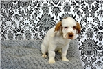 Picture of Chase the Clumber Spaniel is in Need of your Lovin