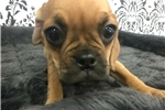 Picture of Penny the Pretty Puggle!