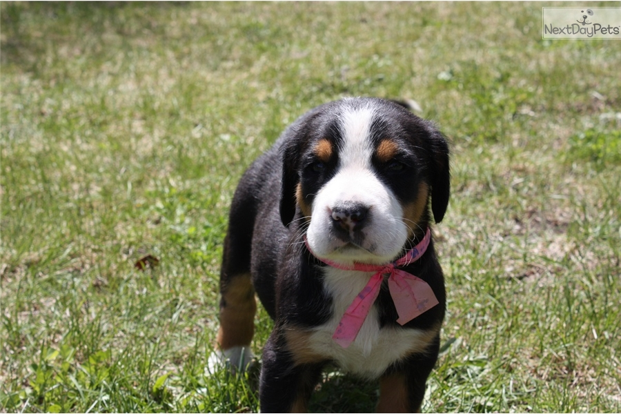 Swiss Mountain Dog Puppies Price