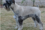 AKC Standard Schnauzers! | Puppy at 42 weeks of age for sale