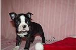 Picture of Little Brindle Boston Female