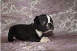 Picture of Little Boston Terrier female