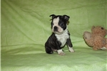 Picture of Tiny Brindle Boston Terrier Male
