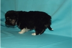 Picture of Very cute female PomChi mix