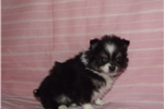 Picture of smally fluffy pom/chi mix female