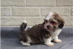 Picture of Flufffy shorkie male puppy