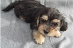 Picture of shorkie male puppy