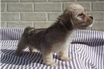 Picture of cute male Shorkie
