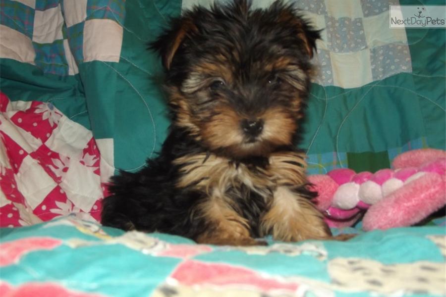 Missouri Yorkie Puppies For Sale Yorkshire Terrier Puppy Breeder Mo ...