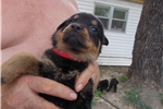 Picture of AKC GERMAN ROTTWEILER PUPPIES