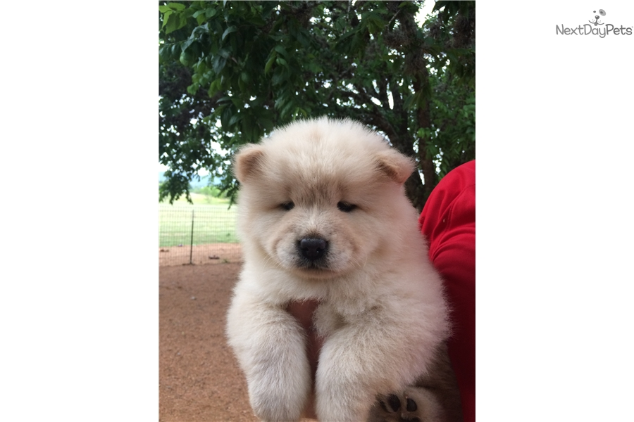 Chow Chow Dogs For Sale In San Antonio