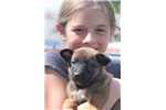 Picture of Beautiful Belgian Malinois Pup, Red