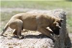 Picture of Beautiful Malinois Puppy! Winston