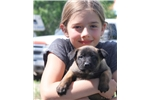 Picture of Beautiful Belgian Malinois Pup, Blue