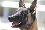 Picture of Belgian Malinois Female: Ava