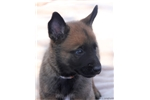 Picture of Beautiful Belgian Malinois Pup, Orange II
