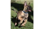 Picture of Beautiful Malinois Puppy! Bryn (Pronounced Brin)