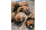 Picture of Upcoming Malinois Litter Expected In March