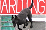 Picture of Black Female Malinois: Aura