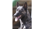 Picture of Pinda Dutch Shepherd