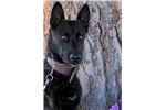 Dutch Shepherd Ruger | Puppy at 4 years of age for sale