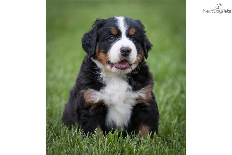 Bernese Mountain Dogs For Sale In Dayton Ohio