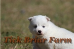 Picture of Huskimo Female (Sugar) - White with BI Color Eyes