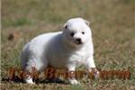 Picture of Huskimo Male (Snowman)