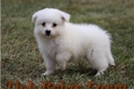 Miniature Male (Mo Mo) | Puppy at 8 weeks of age for sale