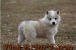 Picture of Huskimo Female (Sterling)