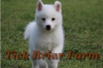 Picture of Huskimo Female (Sissy) - White with BI-COLOR Eyes
